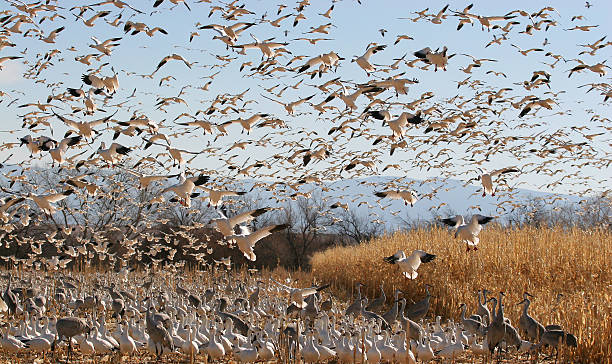 Snow Geese and Sandhill Cranes New Mexico wintering area for these birds feeding in a cornfield. snow goose stock pictures, royalty-free photos & images