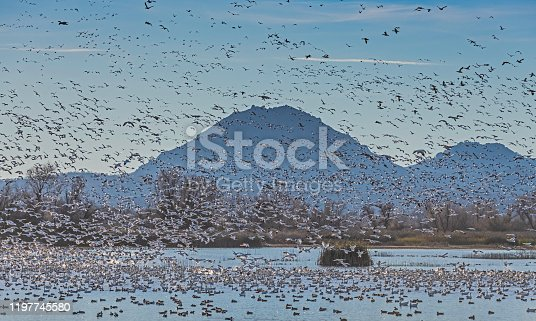Lesser snow geese flying and landing at the Gray Lodge Wildlife Area in the Sacramento Valley, Butte County, California