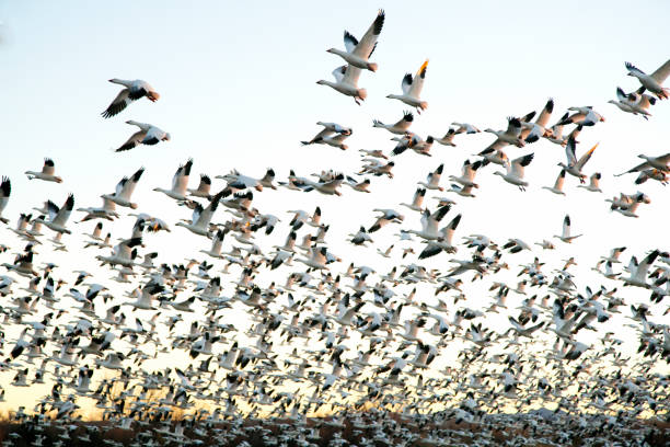 Snow Geese at Bosque Del Apache National Wildlife Refuge stock photo