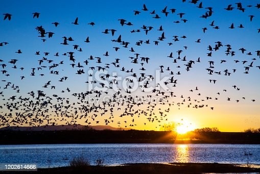 Snow Geese at Bosque Del Apache National Wildlife Refuge near Socorro, New Mexico