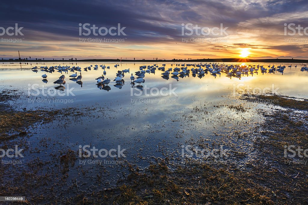 Snow Geese at Sunset royalty-free stock photo