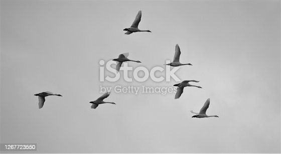 Snow Geese in flight in black and white