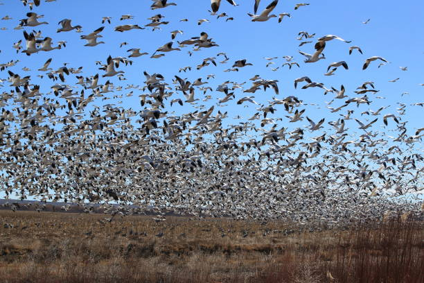 Snow geese Bosque del Apache, New Mexico USA Snow geese Bosque del Apache, New Mexico USA snow goose stock pictures, royalty-free photos & images