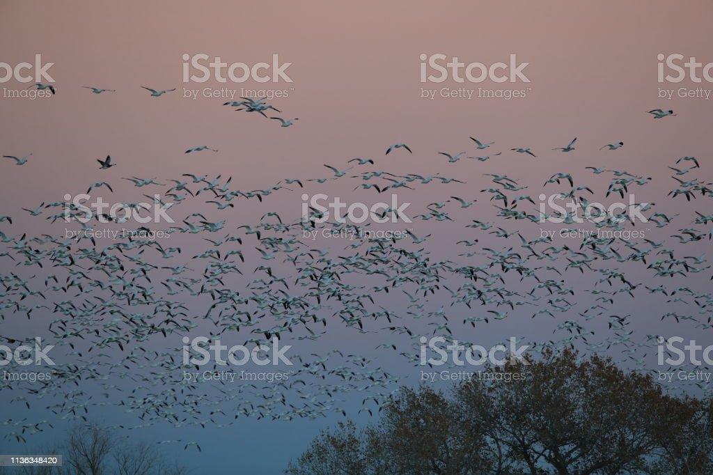 Snow geese Bosque del Apache, New Mexico USA stock photo