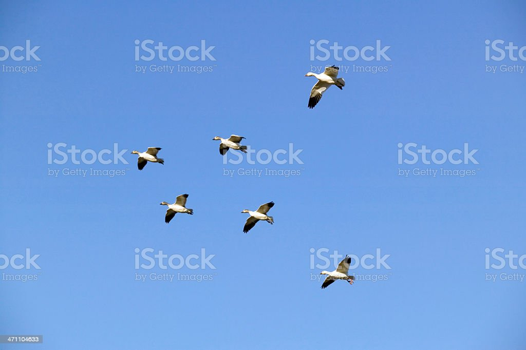 snow geese flight v formation royalty-free stock photo