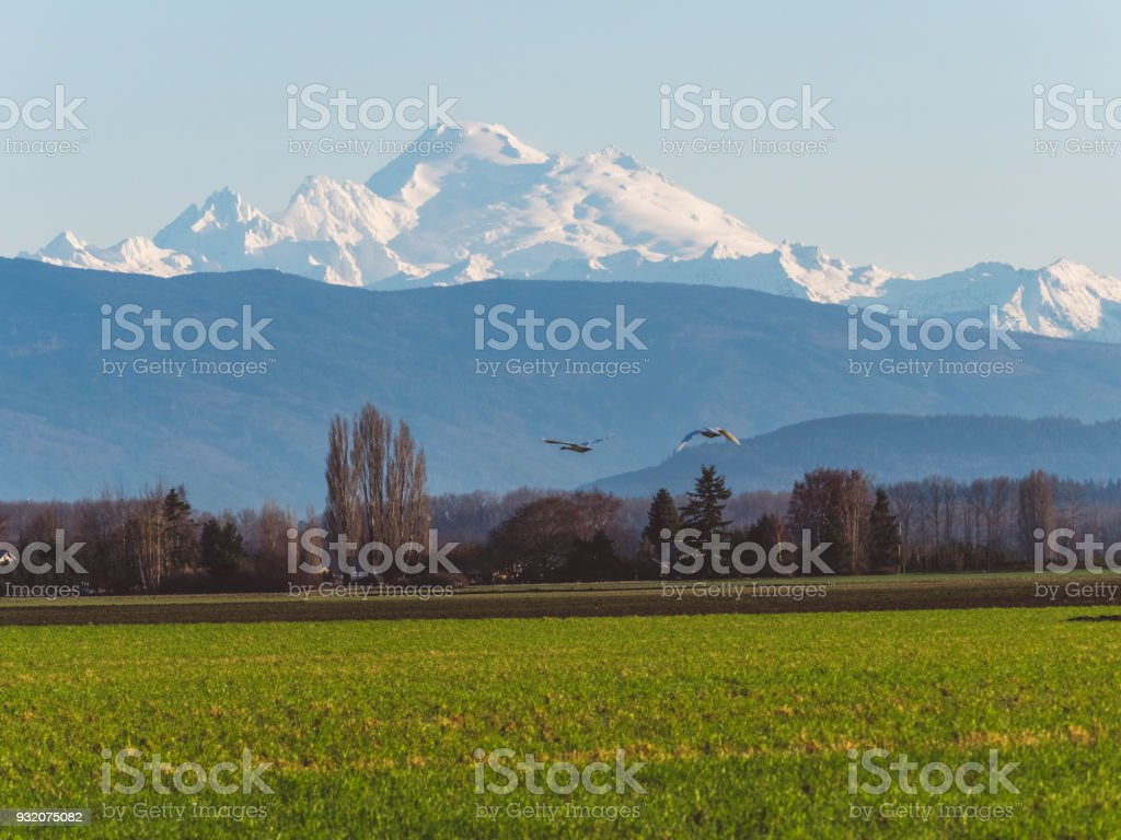 snow geese flock flying in front of Mount Baker,silhouette view stock photo