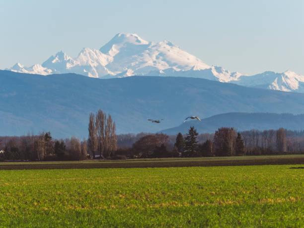 troupeau d'oies des neiges battant en face du mont baker, vue de la silhouette - mont baker photos et images de collection