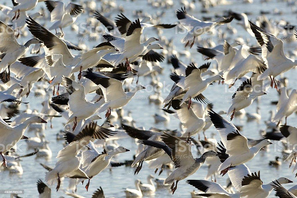 Snow Geese Flock Take-Off stock photo