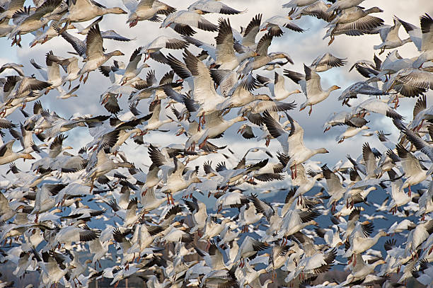 Snow Geese Fly High Skagit Valley snow goose stock pictures, royalty-free photos & images