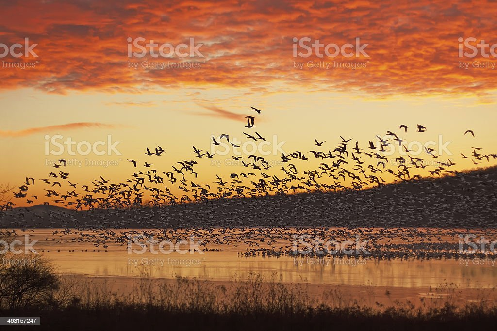 Snow Geese Flying at Sunrise royalty-free stock photo