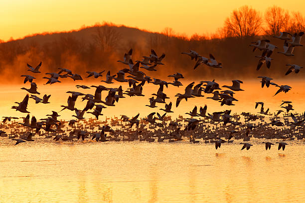 Snow Geese Flying at Sunrise Thousands of migrating Snow Geese ( Chen caerulescens ) fly from a lake at sunrise in Lancaster County, Pennsylvania, USA. snow goose stock pictures, royalty-free photos & images
