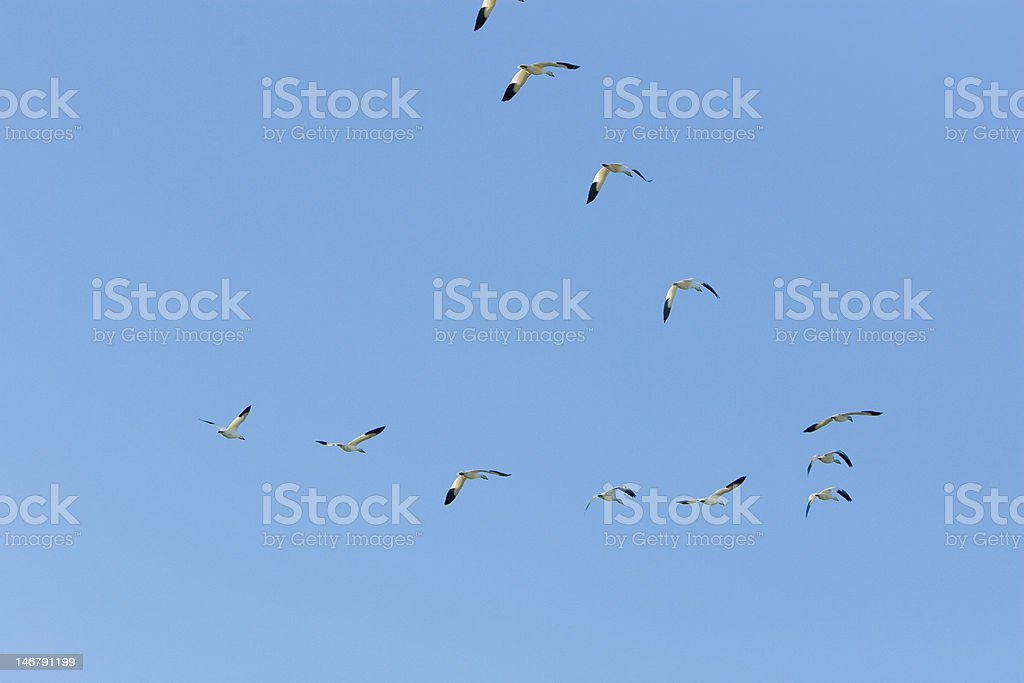 Snow Geese Flying in V-Formation stock photo