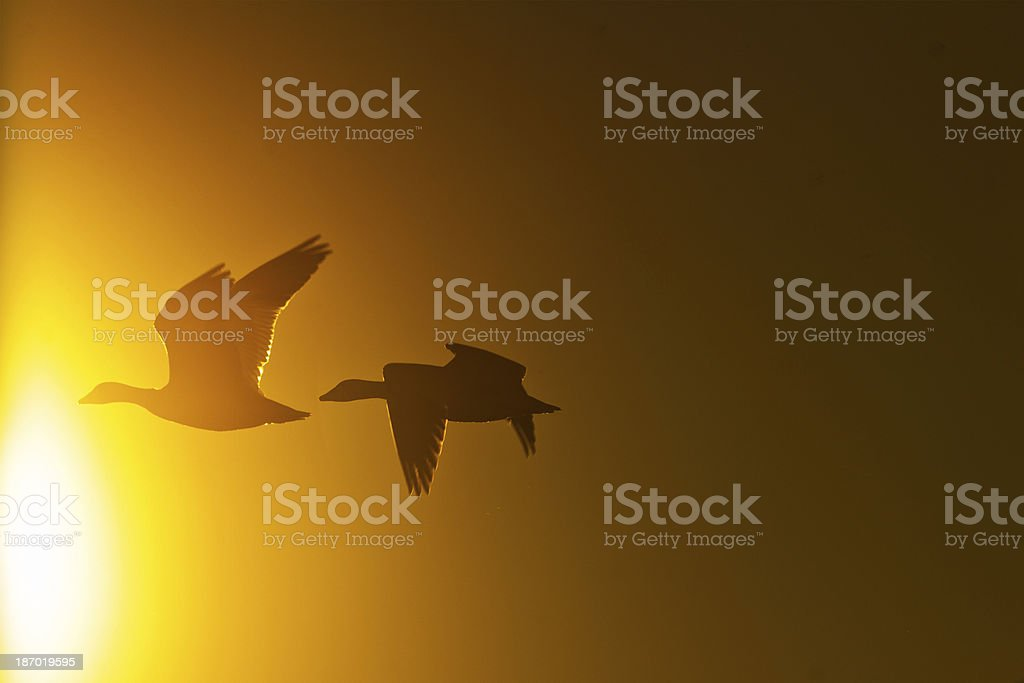 Snow Geese flying into the sun royalty-free stock photo