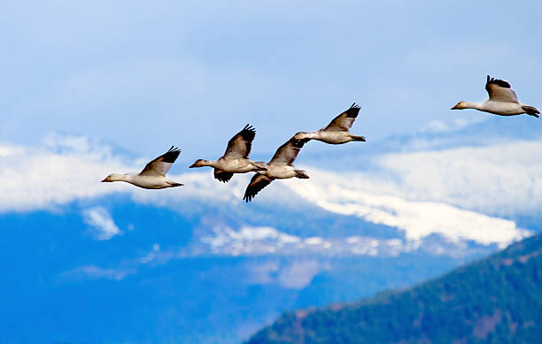 Snow Geese Flying Mountains Skagit Valley Washington Snow Geese Flying Snow Mountains Skagit Valley Washington snow goose stock pictures, royalty-free photos & images