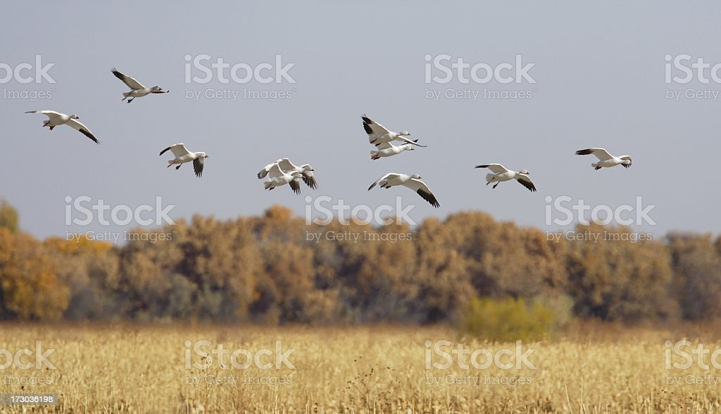 Snow Geese Flying Over Autumn Corn Field stock photo