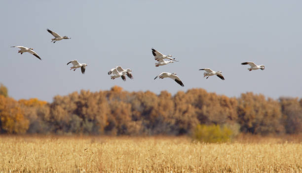 Snow Geese Flying Over Autumn Corn Field Snow Geese  snow goose stock pictures, royalty-free photos & images