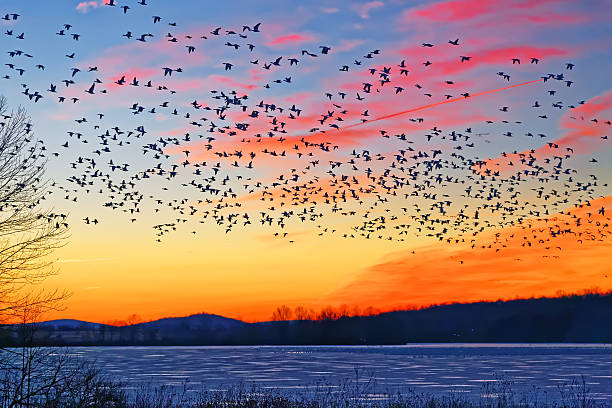 Snow Geese Flying Over Frozen Lake Thousands of migrating Snow Geese ( Chen caerulescens ) fly over a frozen lake at sunrise in Lancaster County, Pennsylvania, USA. snow goose stock pictures, royalty-free photos & images