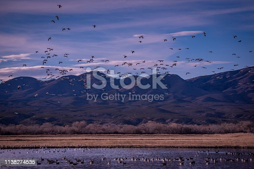 Birds at Bosque del Apache - Snow geese flock with two landing