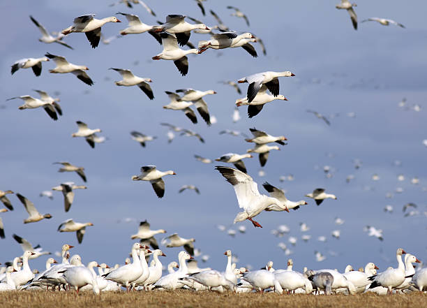 Snow Geese Flying  snow goose stock pictures, royalty-free photos & images