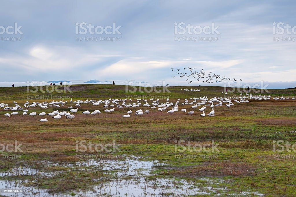 Snow Geese in a park stock photo