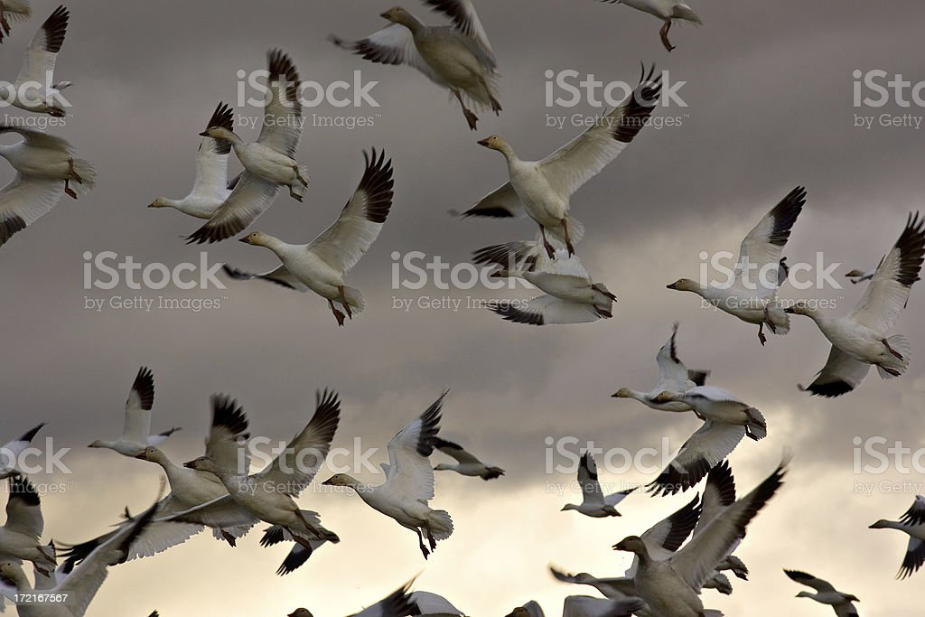 Snow Geese in Evening Light royalty-free stock photo