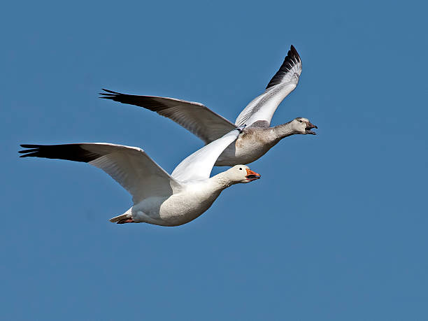 Snow Geese in Flight Snow Geese in Flight snow goose stock pictures, royalty-free photos & images
