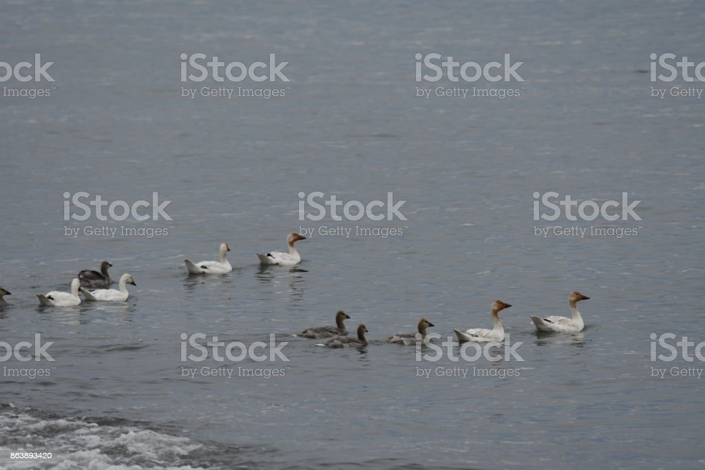 Snow Geese in Northern Greenland stock photo