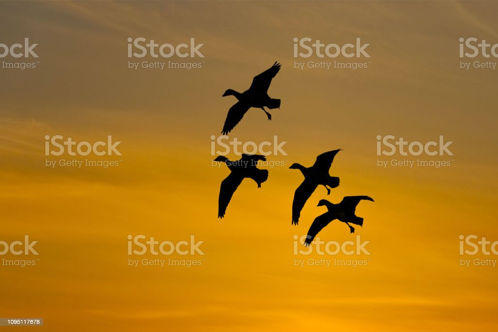 Snow Geese Landing at Sunset stock photo