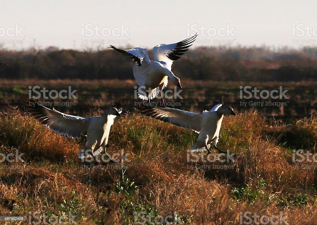 Snow Geese Landing in Field stock photo