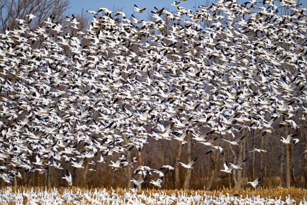 Snow Geese Liftoff stock photo