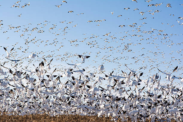 Snow Geese Migrating Snow geese migrating north. snow goose stock pictures, royalty-free photos & images
