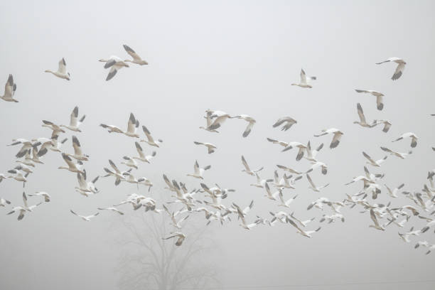 Snow Geese Migration A flock of Snow Geese in flight over Pennsylvania farmland on a foggy, late-winter morning. snow goose stock pictures, royalty-free photos & images