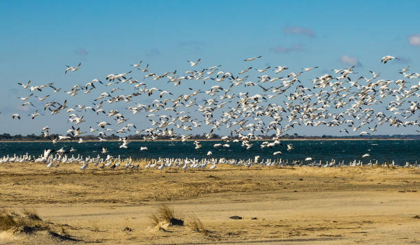 Snow Geese on Chincoteague A flock of snow geese on Chincoteague National Wildlife Refuge snow goose stock pictures, royalty-free photos & images