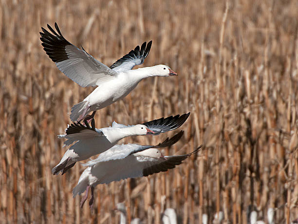 Snow Geese Over Corn Field Bosque Del Apache snow goose stock pictures, royalty-free photos & images