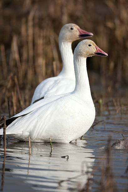 Snow Geese Pair Snow geese Pair  snow goose stock pictures, royalty-free photos & images