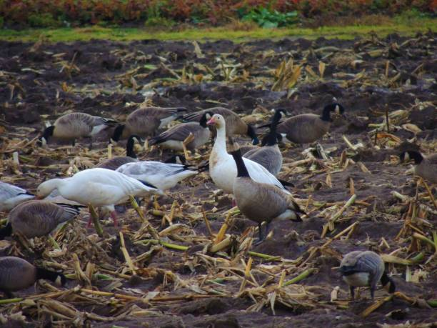 Snow Geese Small white birds feeding in a trodden down corn field with Brent geese. snow goose stock pictures, royalty-free photos & images