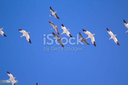 Snow geese in flight, USA
