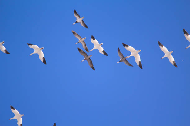 Snow Geese Snow geese in flight, USA snow goose stock pictures, royalty-free photos & images