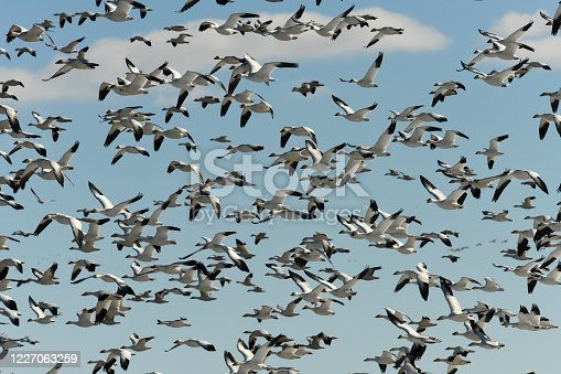 Thousands of Geese migrate through central Montana