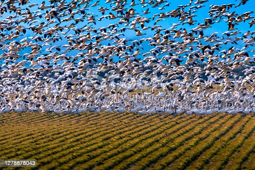 Snow geese feeding in a farm field