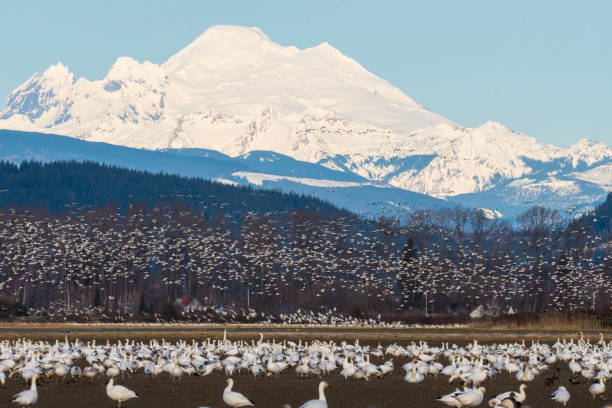 Snow Geese Taken in Skagit Valley, WA snow goose stock pictures, royalty-free photos & images