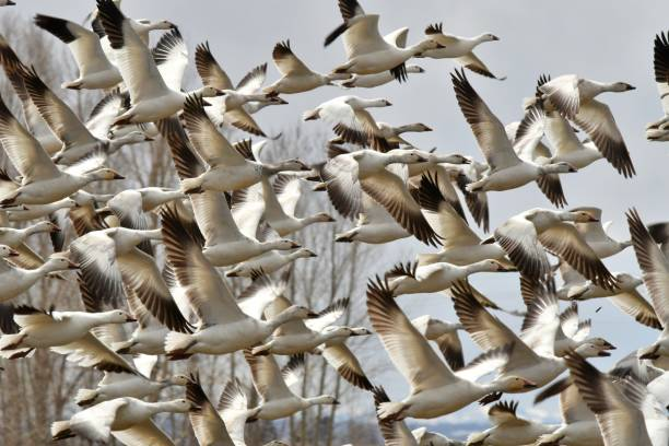 Snow Geese Geese migrate through central Idaho snow goose stock pictures, royalty-free photos & images