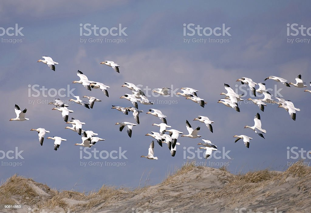 snow geese take flight at cape hatteras stock photo