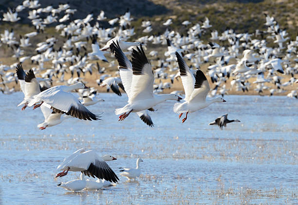 Snow Geese Taking Off Hundreds of snow geese taking off from lake at Bosque del Apache Wildlife Reserve in New Mexico snow goose stock pictures, royalty-free photos & images