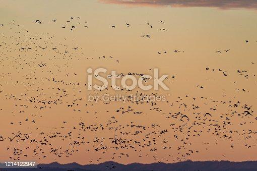 Snow goose, Anser caerulescens, at the Sacramento National Wildlife Refuge, Sacramento Valley, California. Flying at dawn in an orange sky
