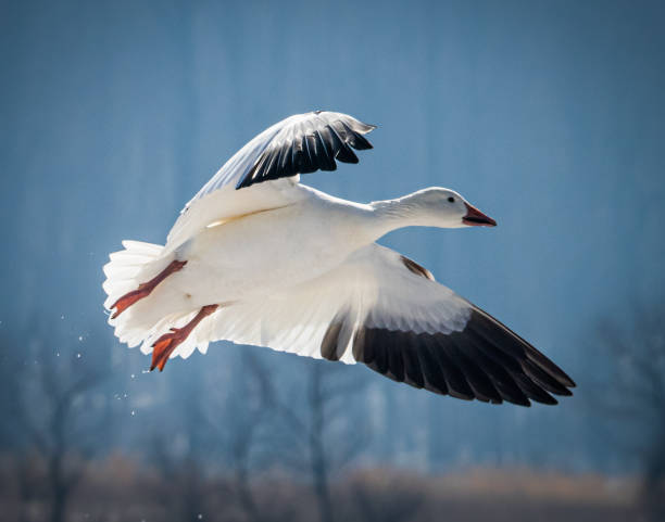 A snow goose comes in for a landing at Middle Creek Wildlife Refuge A migrating snow goose  about to land in a field in eastern Pennsylvania on a bright winter day snow goose stock pictures, royalty-free photos & images