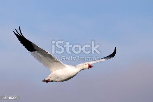 A snow goose (Chen caerulescens) in flight against a clear blue sky.