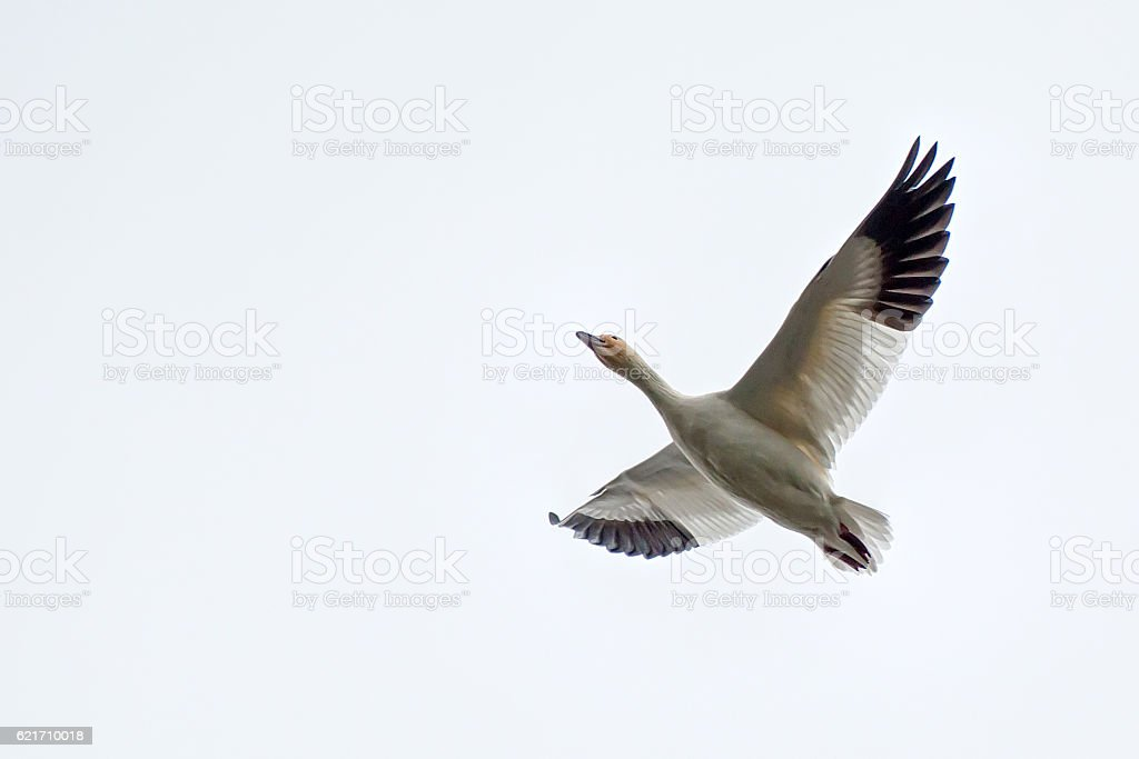 Snow goose flying, with white background stock photo