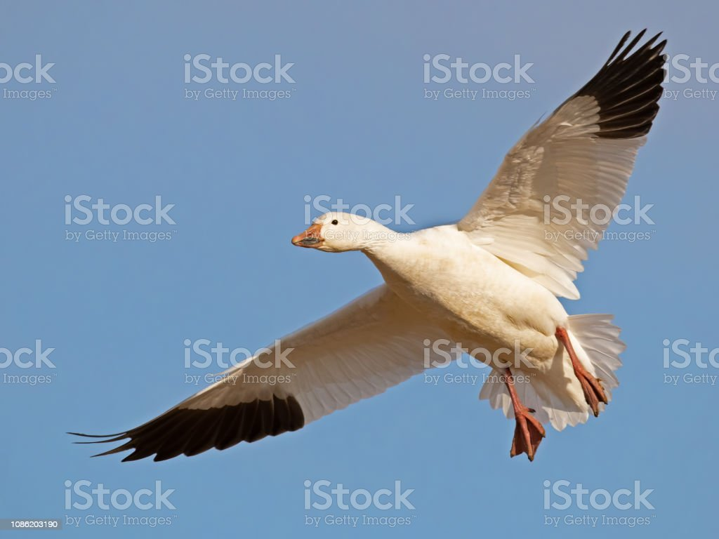 Snow Goose In Flight stock photo