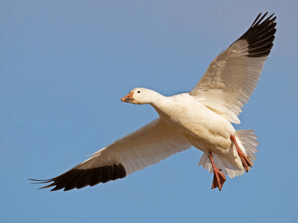 Snow Goose In Flight Snow Goose In Flight snow goose stock pictures, royalty-free photos & images